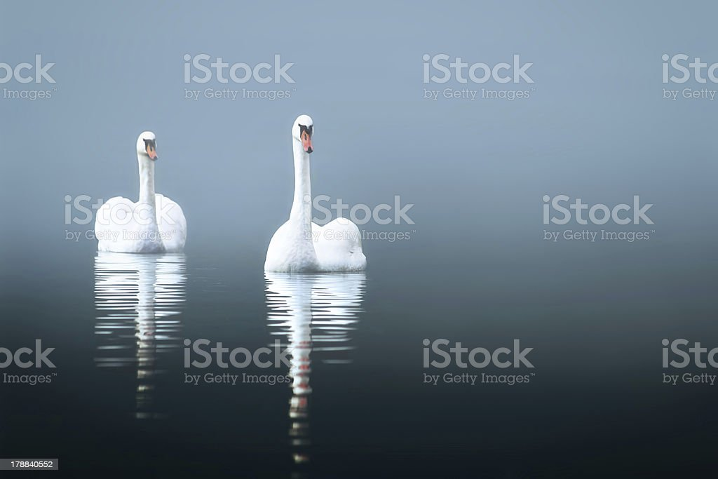 Swans in the misty lake royalty-free stock photo