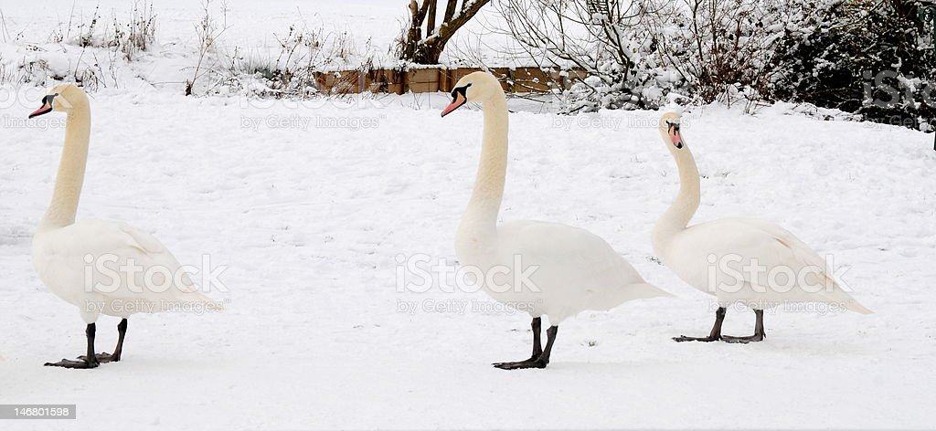 swans in the snow royalty-free stock photo