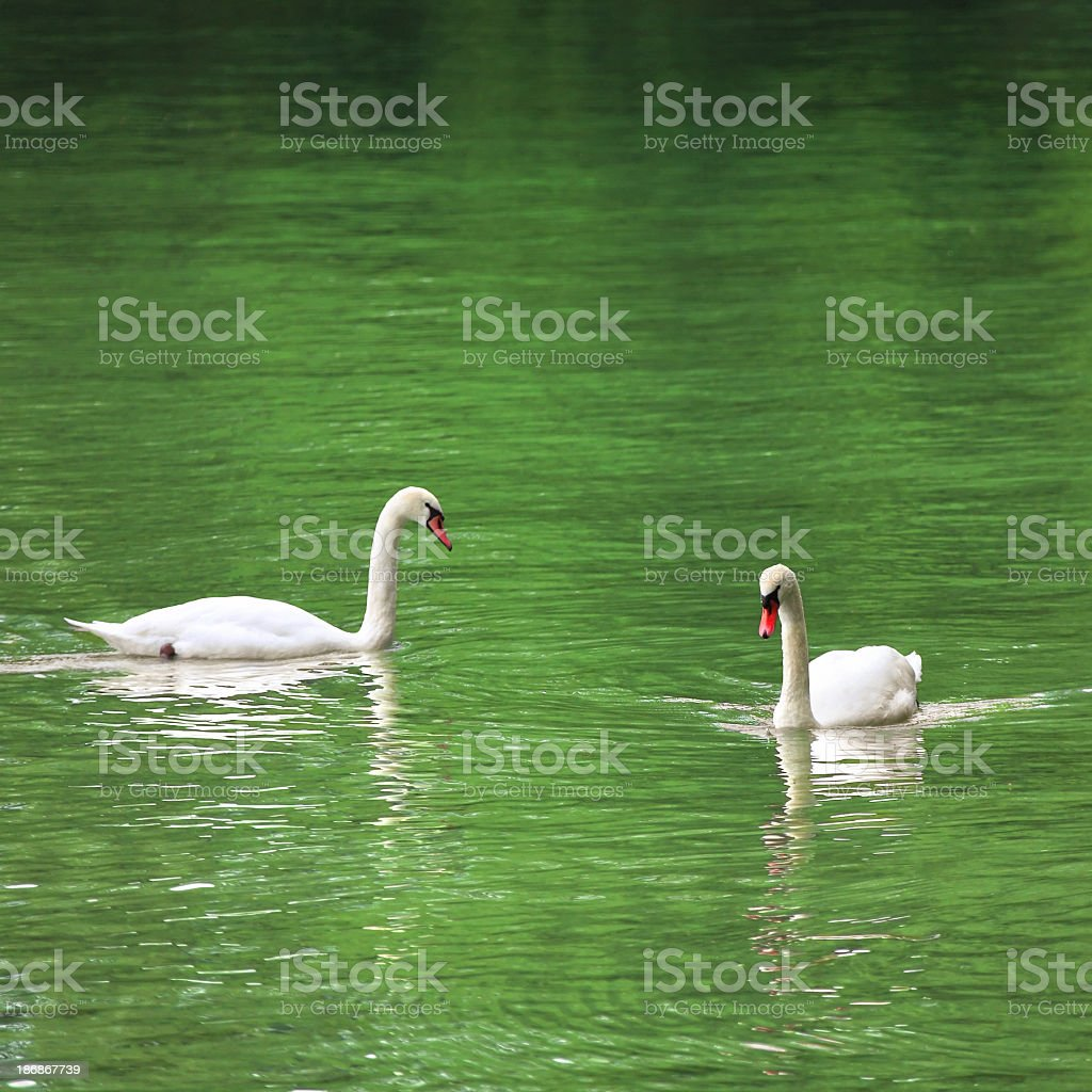 swans in water royalty-free stock photo