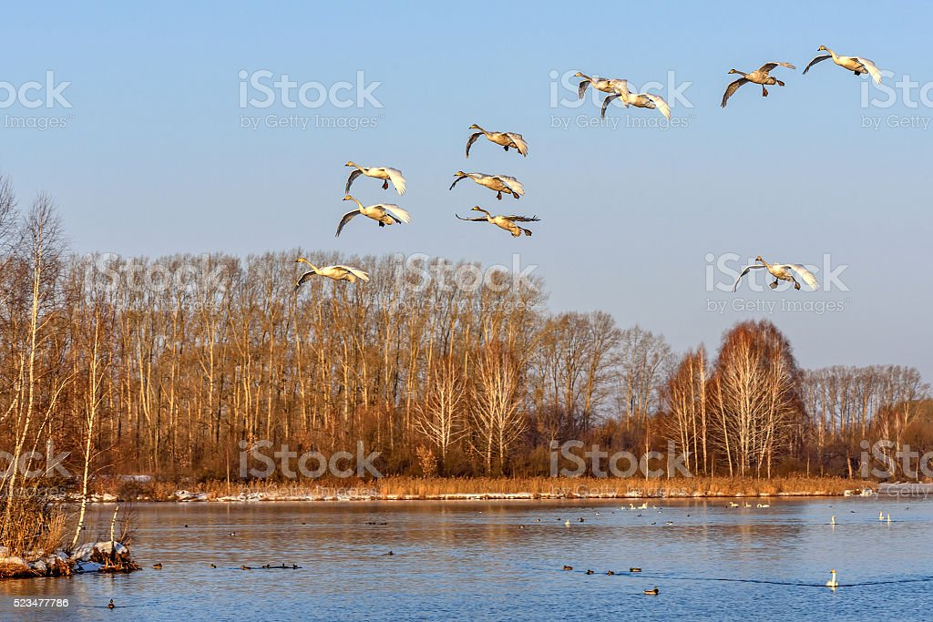 swans lake fly birds stock photo