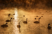 swans lake mist winter sunset