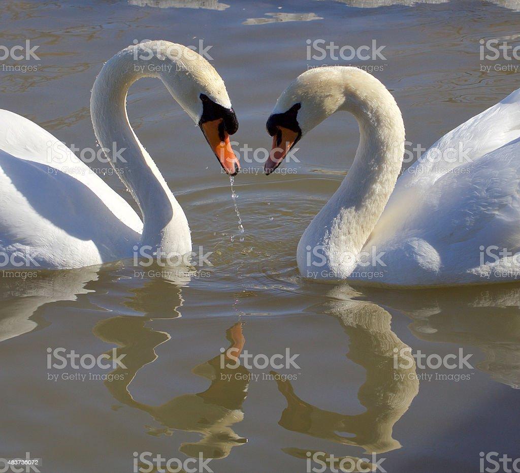 Swans. Love. Heart. stock photo