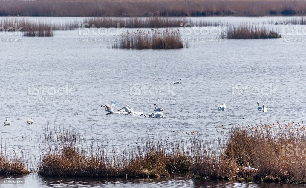 Swans Mating in Spring stock photo