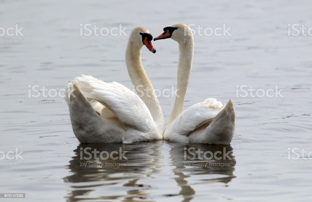 Swans mating stock photo