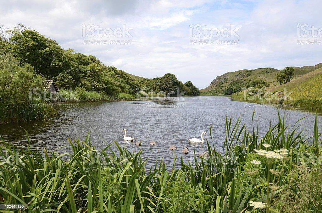Swans, Mire Loch, St Abbs Head royalty-free stock photo