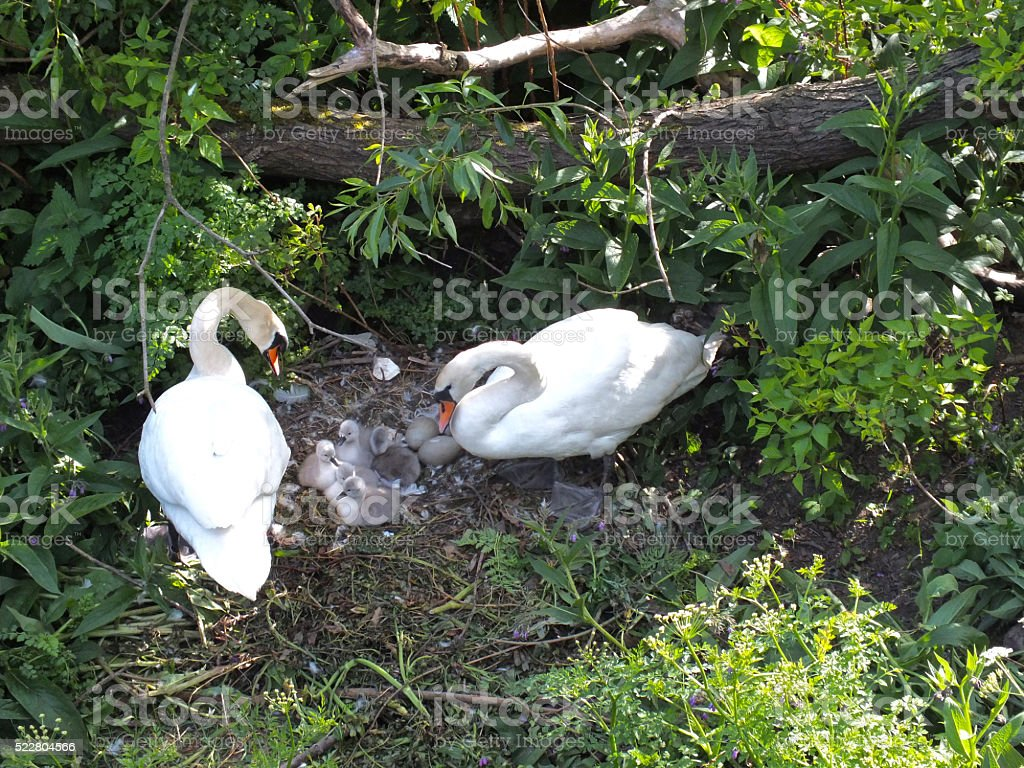 Swan's Nest with Signets stock photo