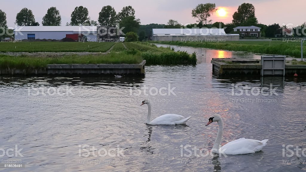 Swans on a canal royalty-free stock photo