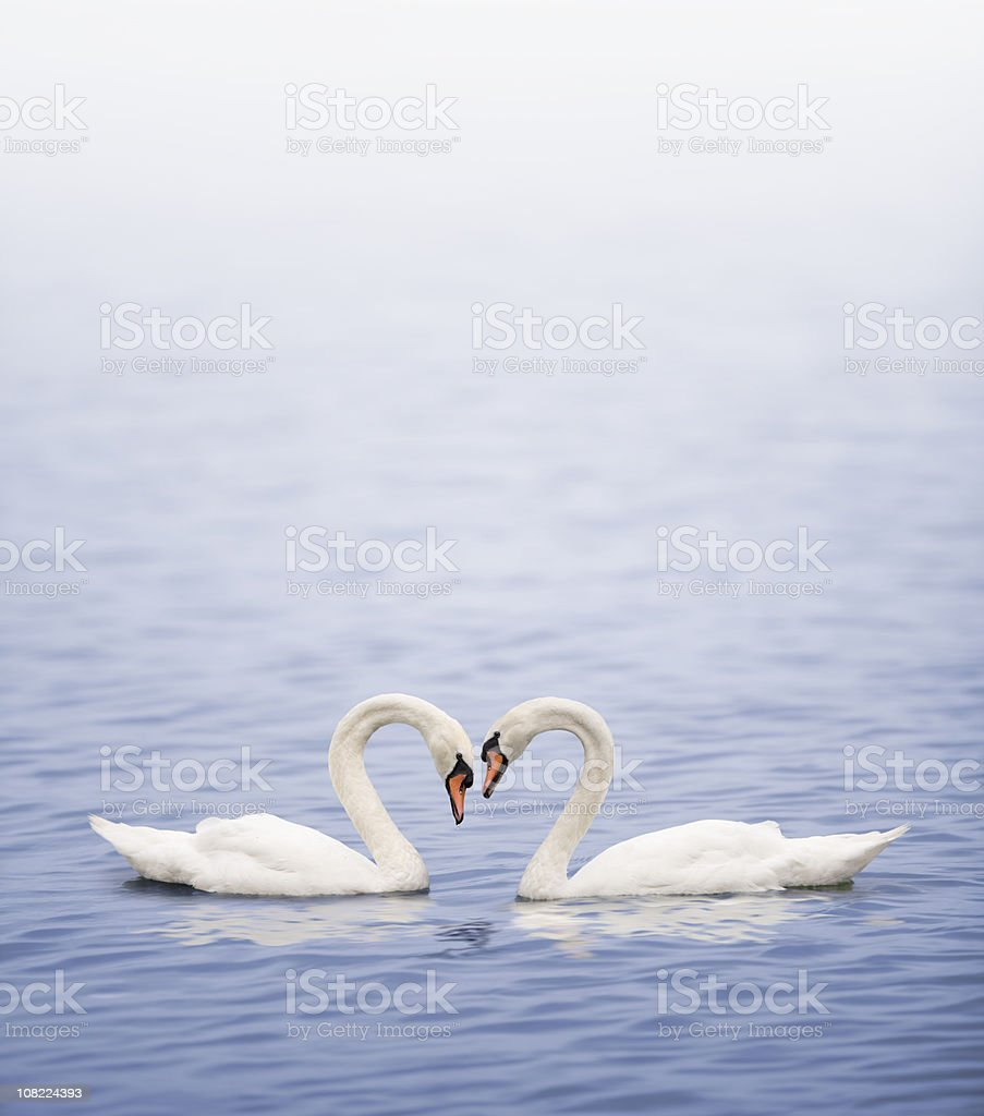 Swans on a lake happily in love stock photo