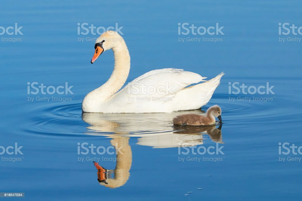 Swans on a lake in Mueritz National Park stock photo