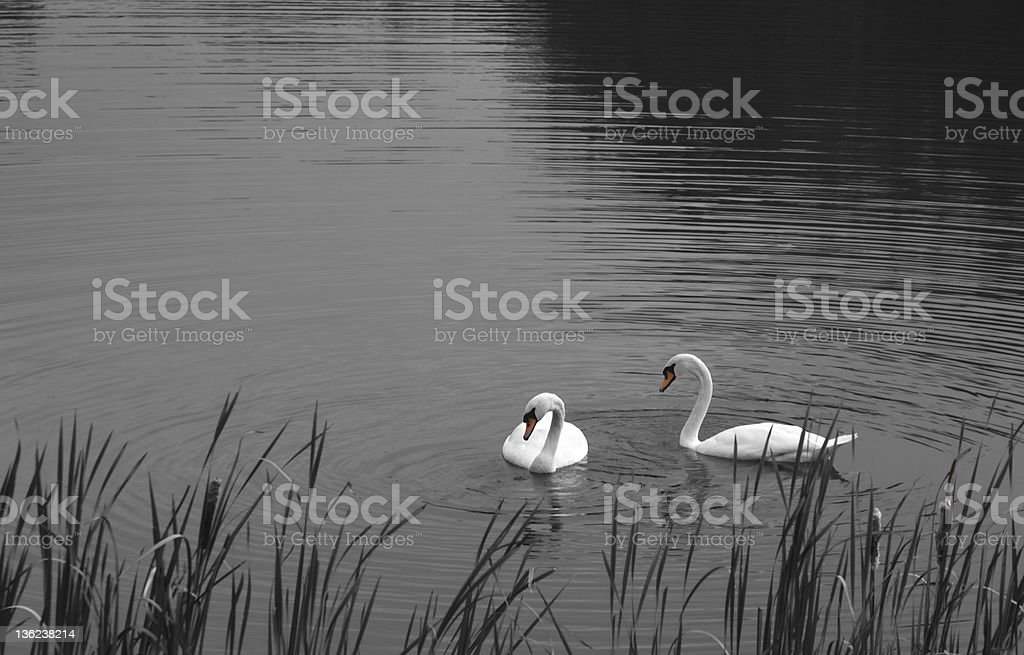Swans on a Pond royalty-free stock photo