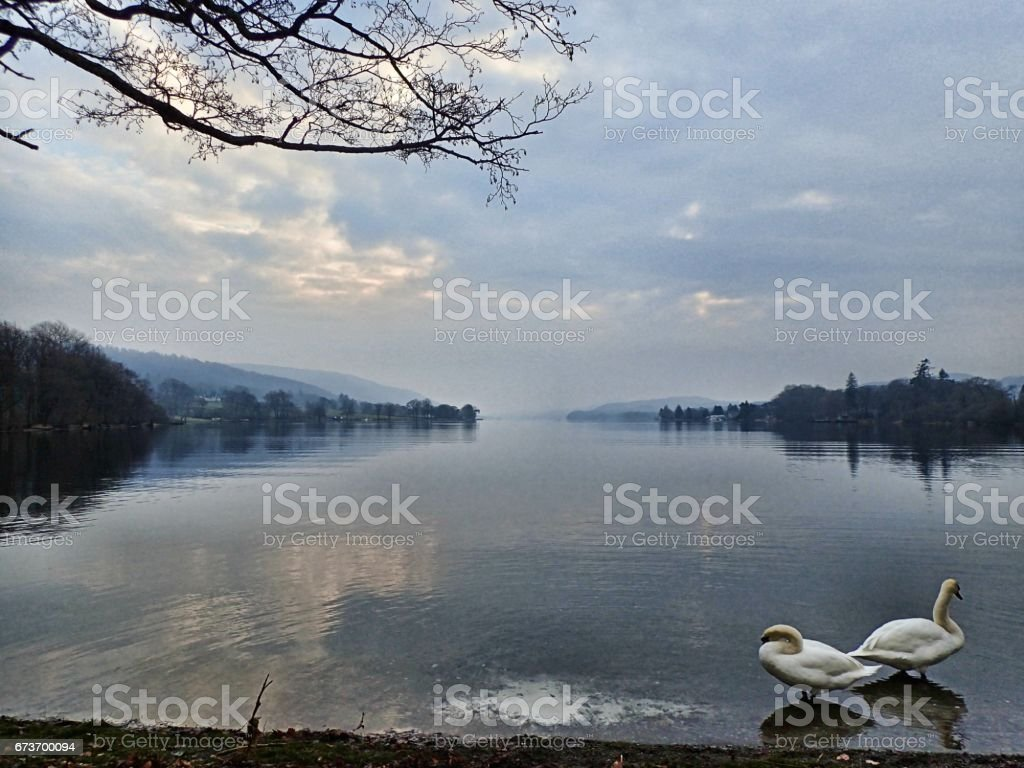 Swans on Coniston Lake District stock photo