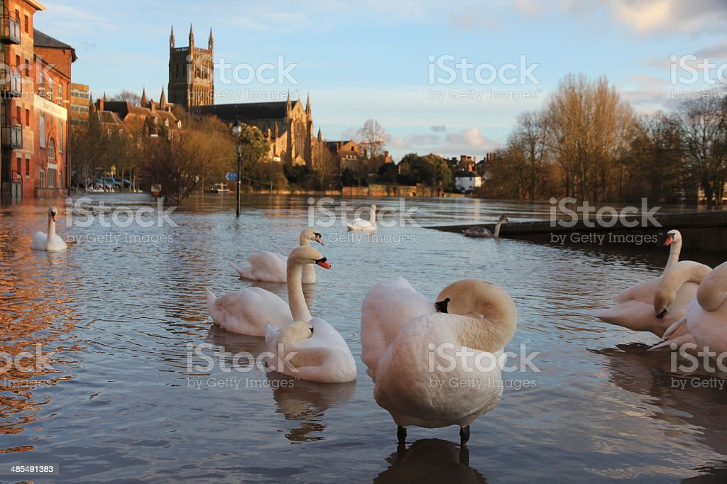 Swans on flooded river stock photo