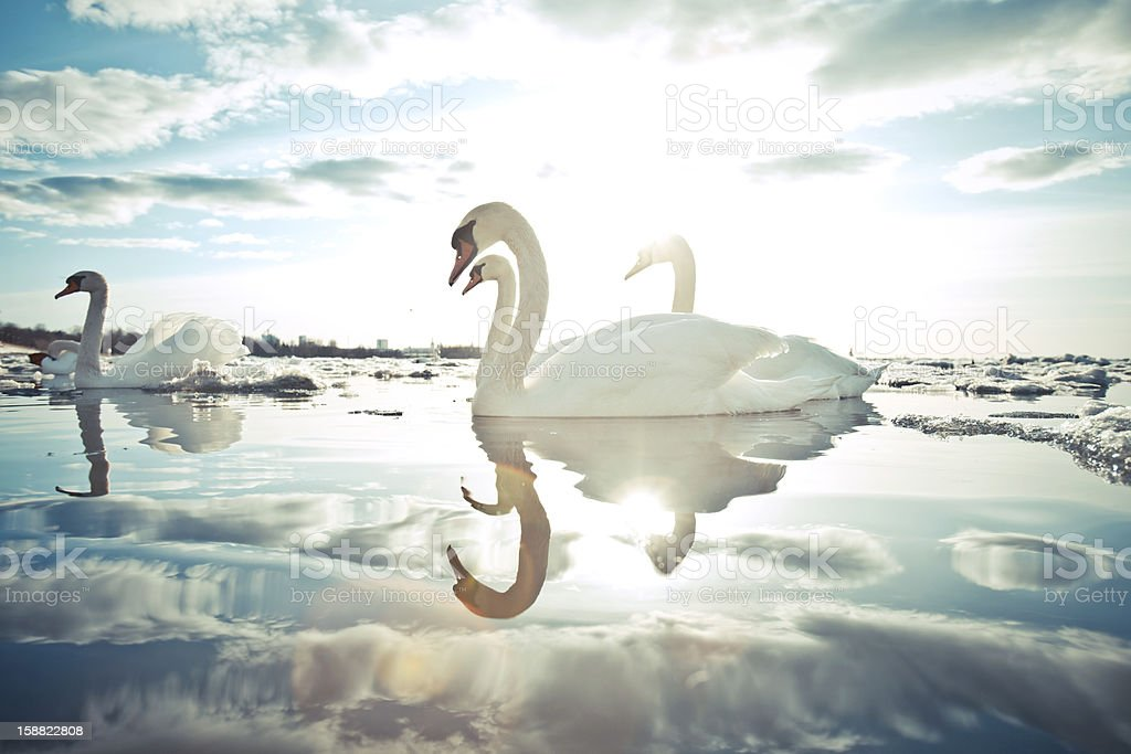 swans on frozen sea. stock photo