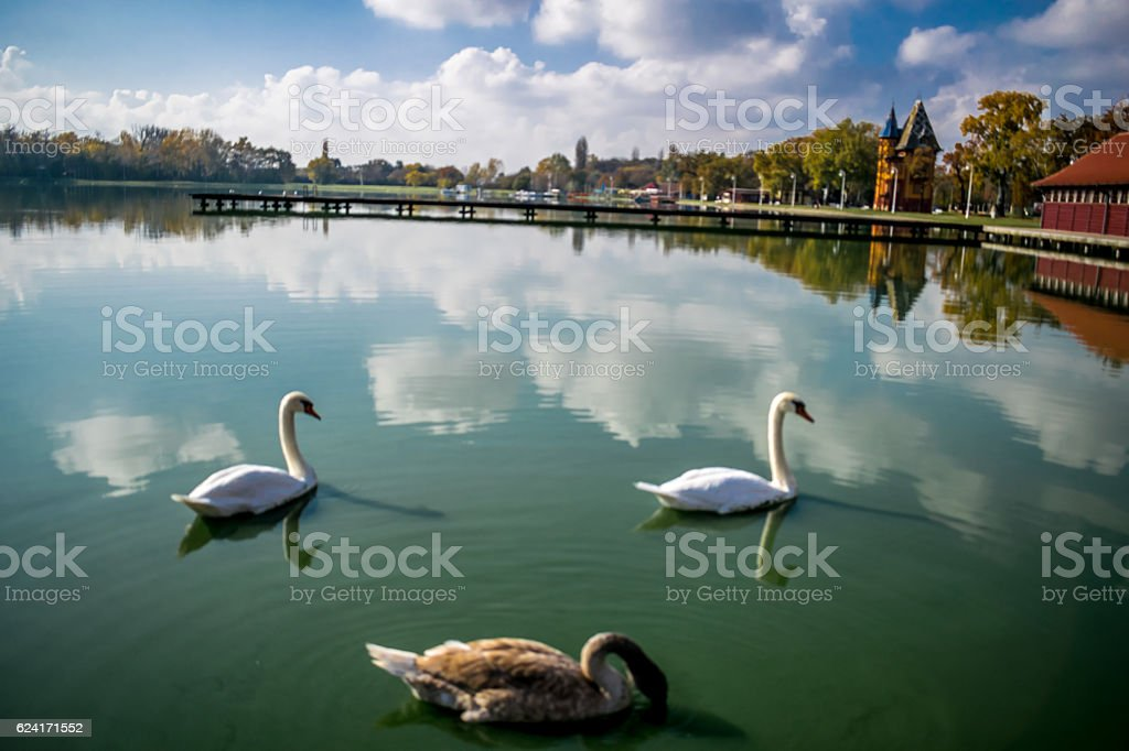 Swans on the beautiful water reflection royalty-free stock photo