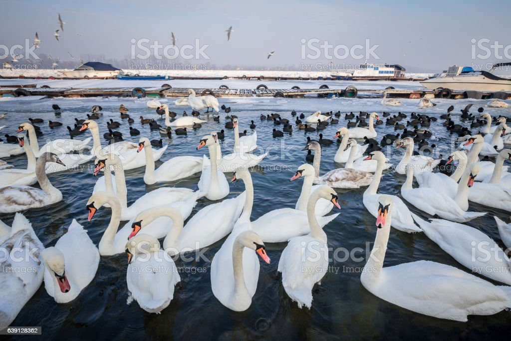 Swans on the frozen Danube in Belgrade, Serbia, January 2017 stock photo