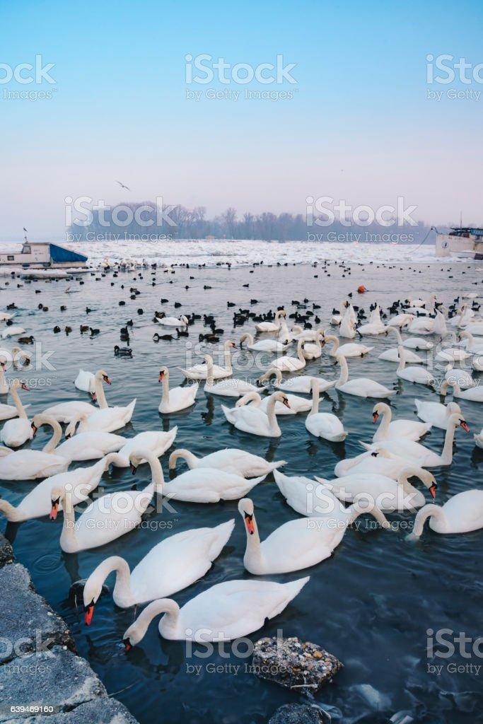 Swans on the Frozen Danube River, Belgrade stock photo