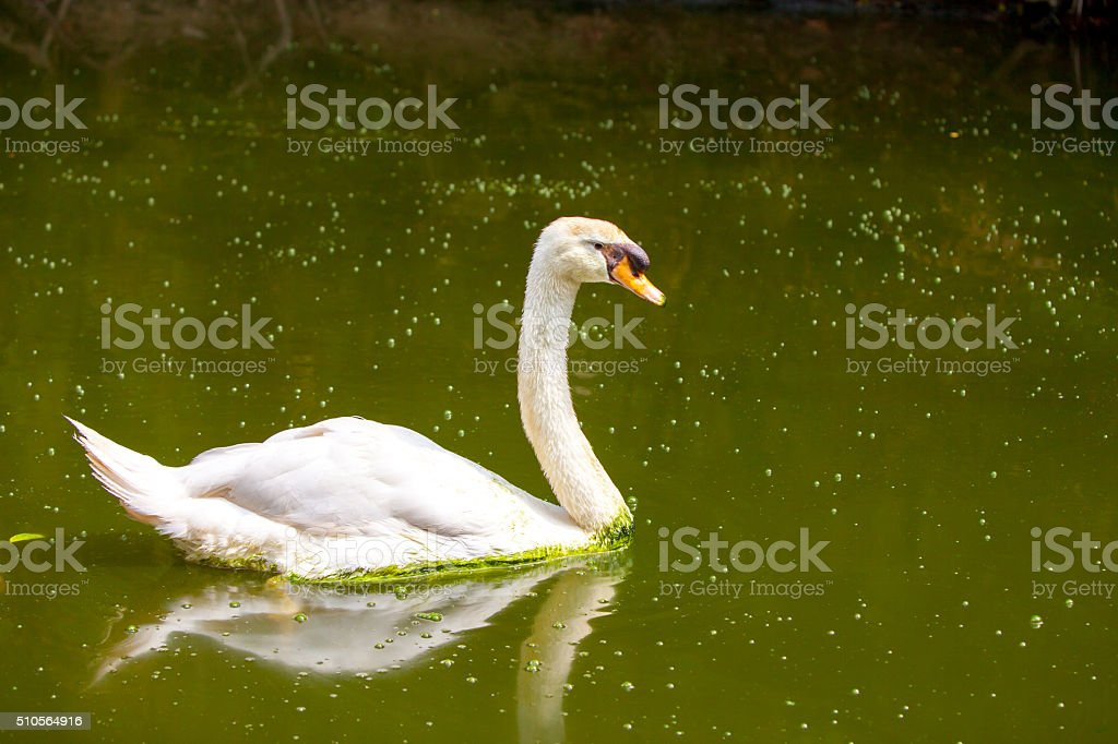 Swans on the lake. stock photo