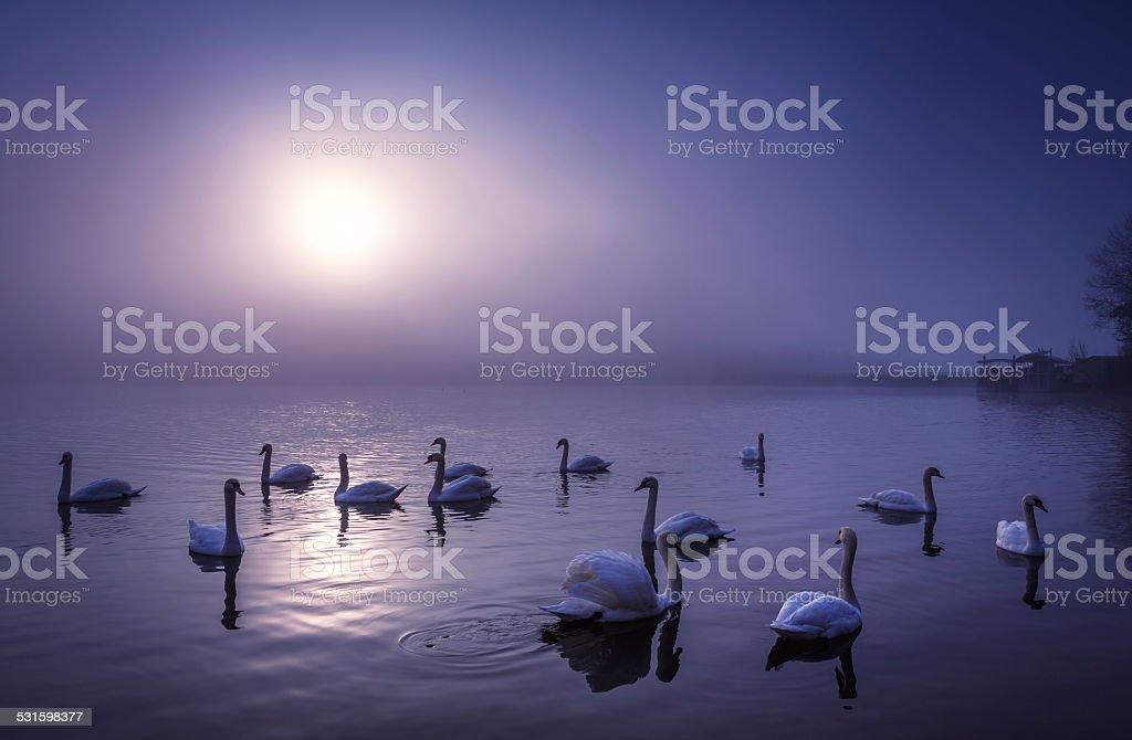 Swans On The Moonlight Lake stock photo