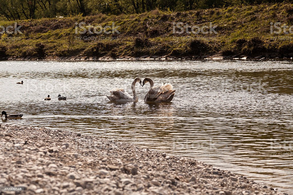 Swans on the river Isar royalty-free stock photo