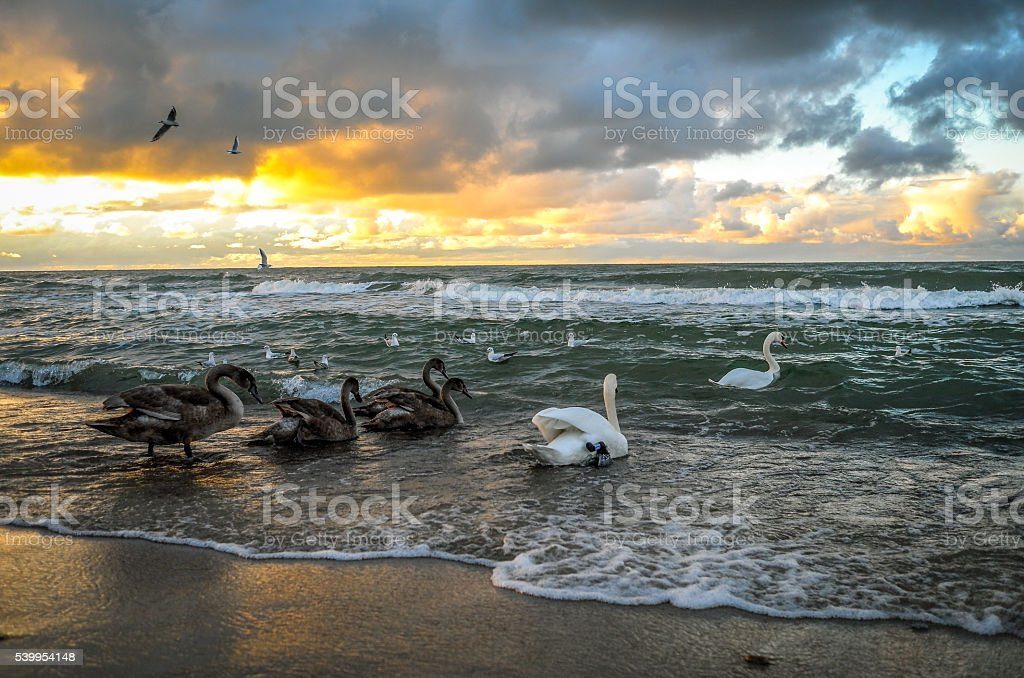Swans on the sea at sunset stock photo