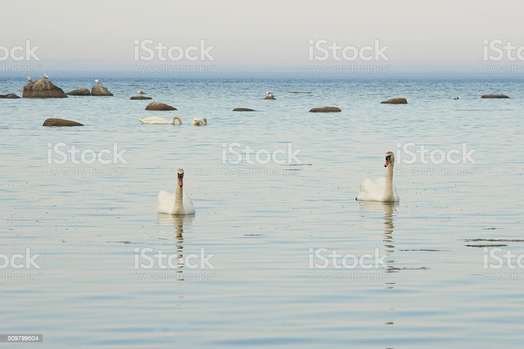 Swans on the seaside at the Baltic Sea stock photo