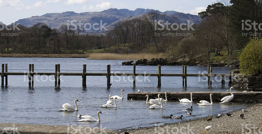 Swans on the shore of Lake Windermere stock photo