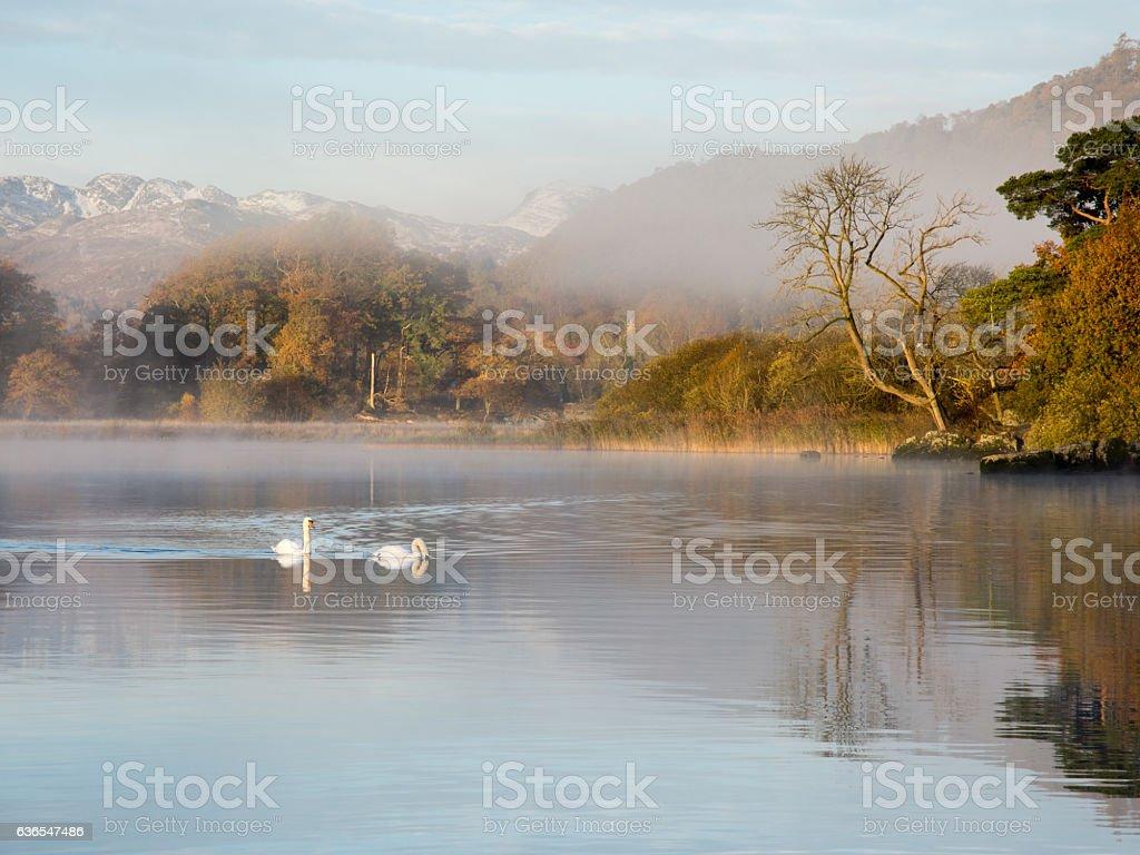 Swans on Windermere lake stock photo