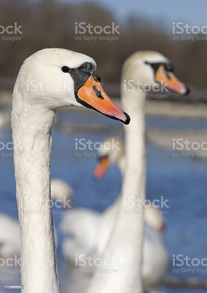Swans royalty-free stock photo