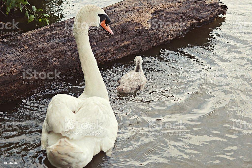 Swans royalty-free stock photo