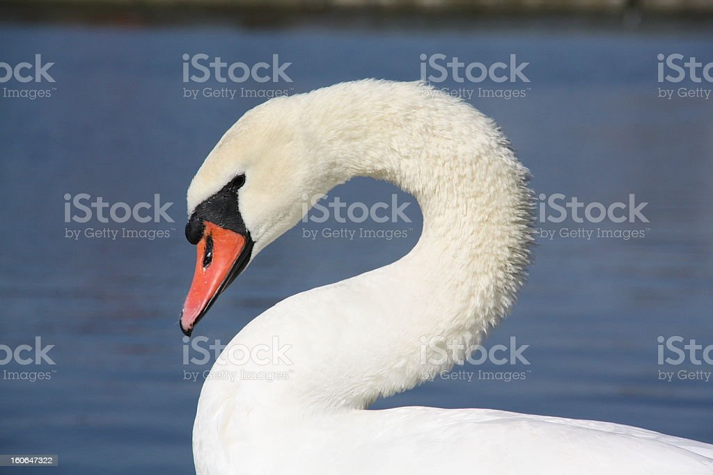Swans resting royalty-free stock photo