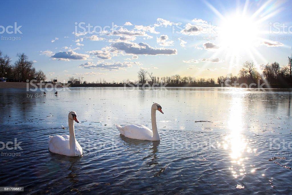 Swans swimming in lake stock photo