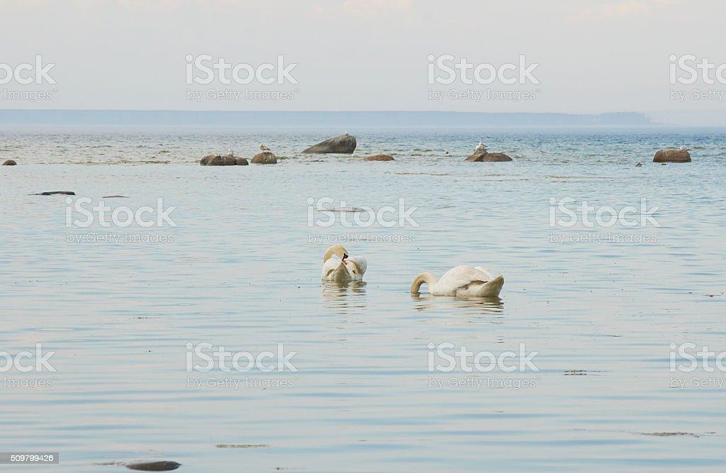 Swans swimming near coastline at the Baltic Sea stock photo