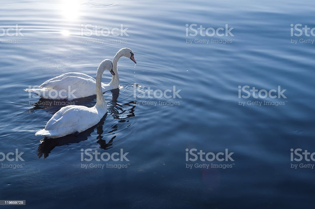 Swans swimming on the lake stock photo