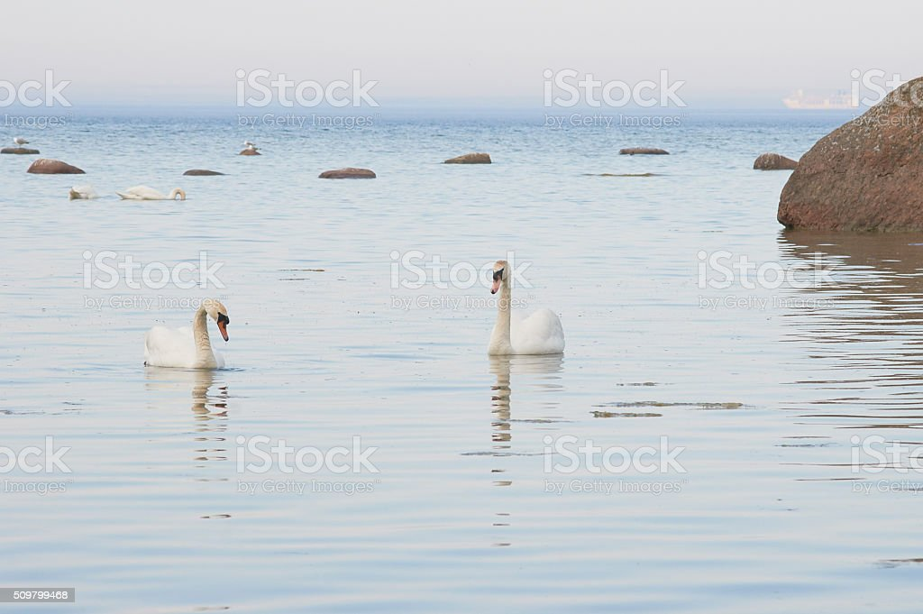 Swans swimmning near the seacoast of the Baltic Sea stock photo