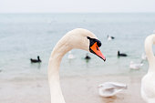Swans wintering on the beach of the Black Sea