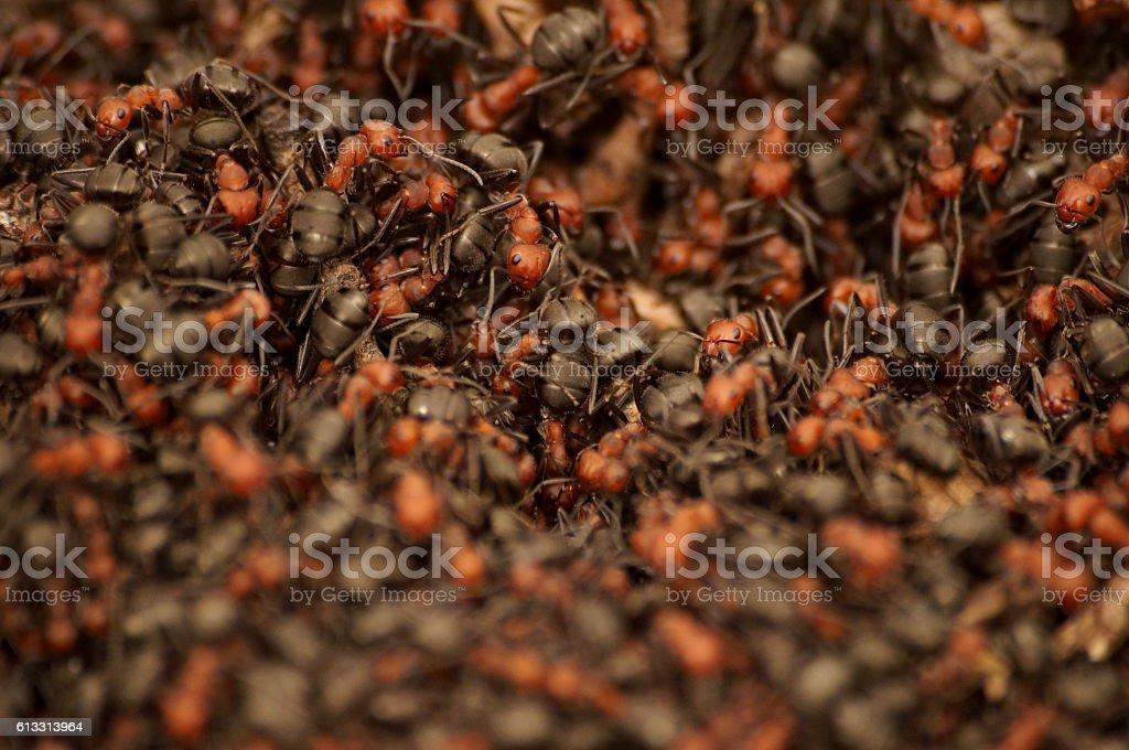 Swarm of Ants stock photo