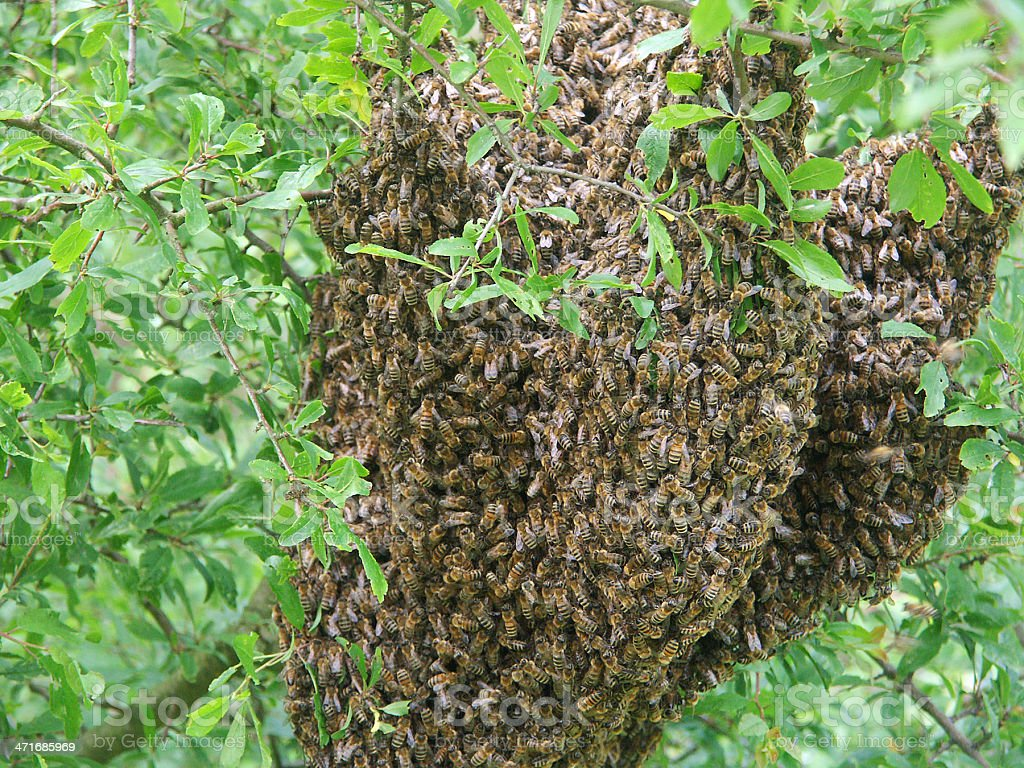swarm of bees in tree royalty-free stock photo