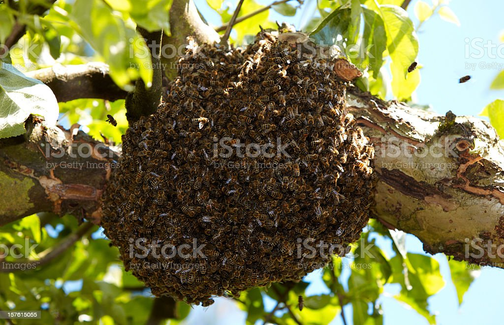 Swarm of bees on a tree stock photo