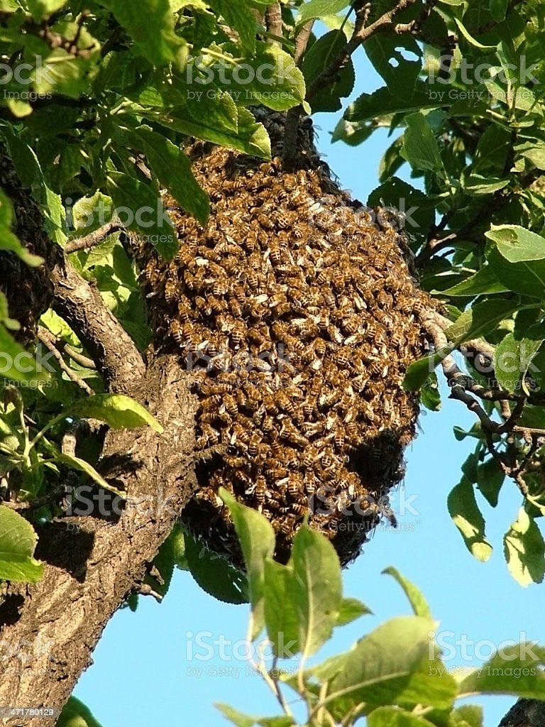 Swarm of bees on a tree royalty-free stock photo