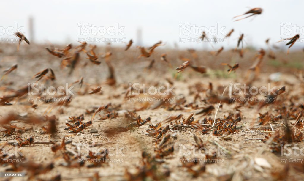 swarm of locusts stock photo