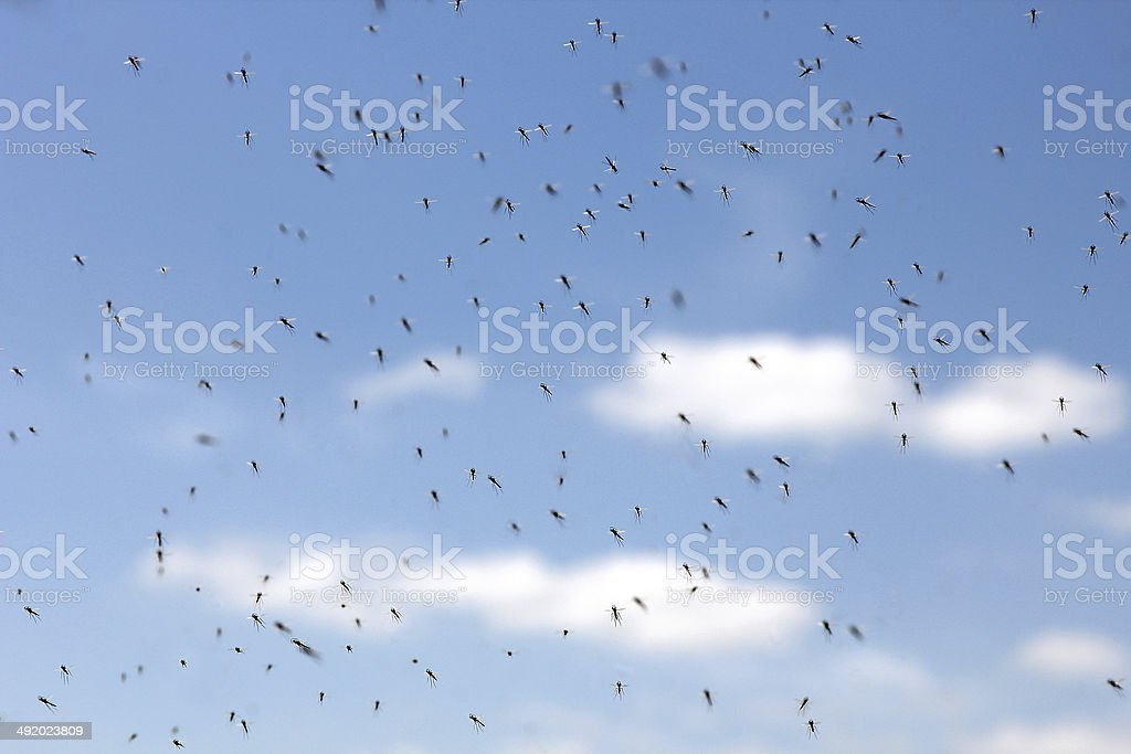 Swarm of mosquitos stock photo