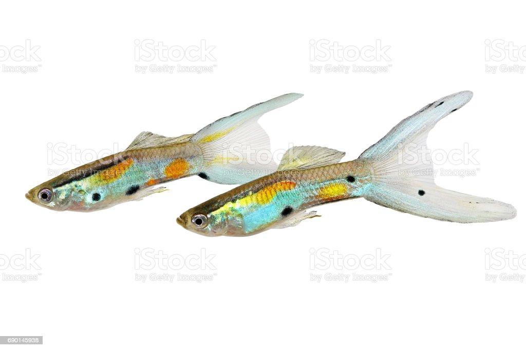 Swarm of Neon Endler Guppy Double Swordtail Male Guppies Poecilia wingei colorful tropical aquarium fish stock photo