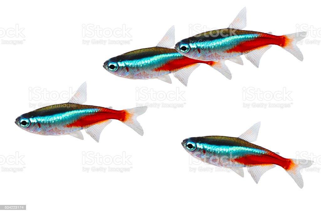 Swarm of Neon Tetra Paracheirodon innesi freshwater fish isolated stock photo