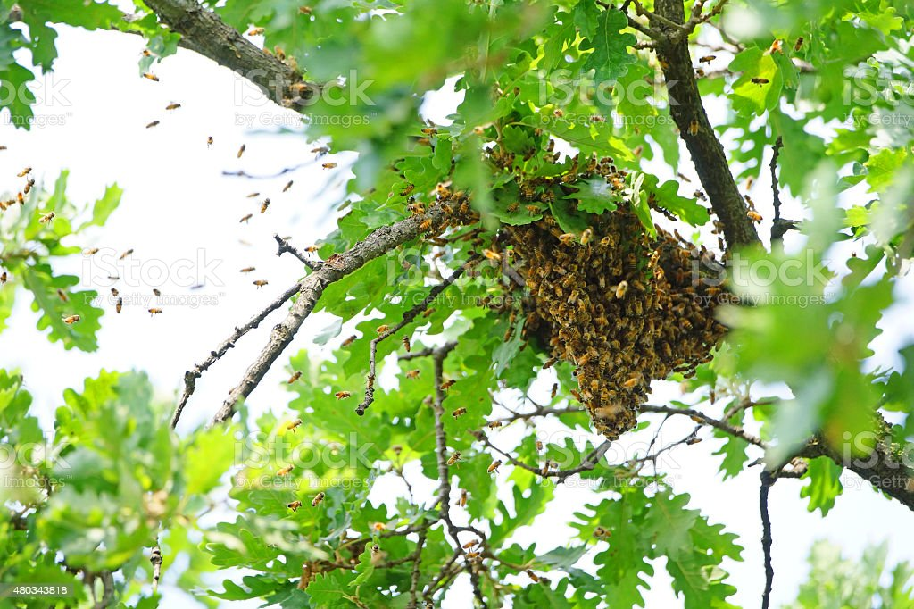 Swarm of wild Bees in a Tree stock photo