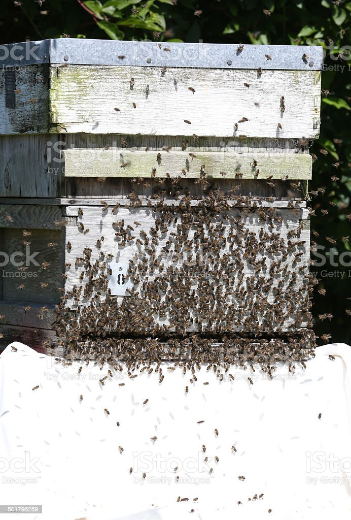 Swarm of wild bees moving into a hive royalty-free stock photo