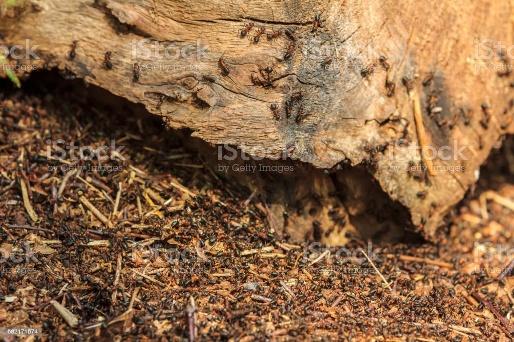 swarming European red ant nest stock photo