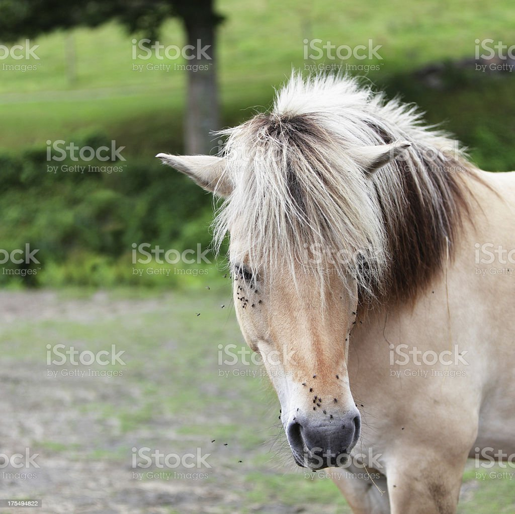Swarming Flies Tormenting Horse stock photo