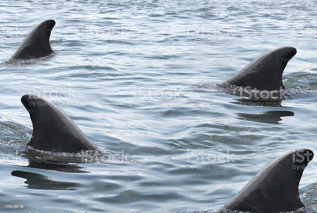 Swarming Sharks royalty-free stock photo