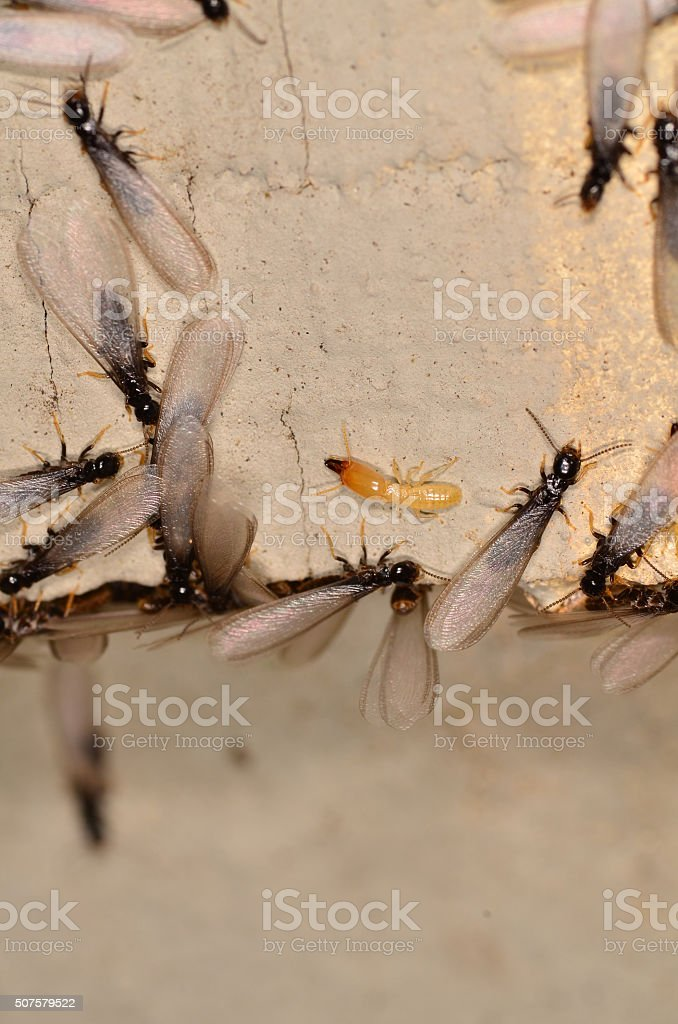 Swarming termites and a worker exiting infested wood stock photo