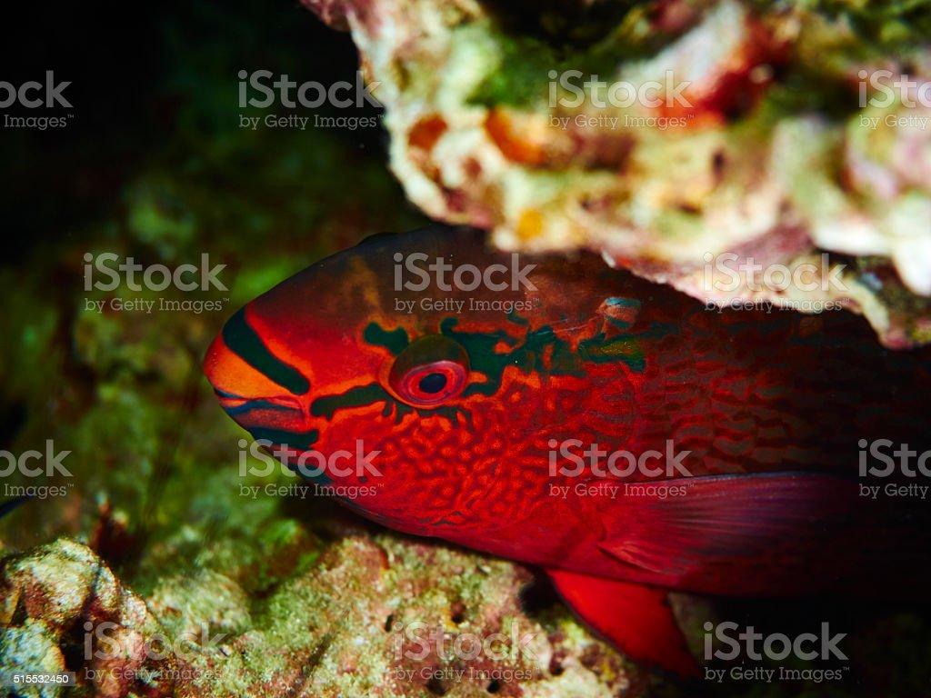 Swarthy Parrotfish stock photo